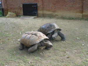 Giant tortoises racing for food