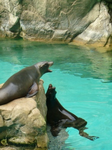 Sea lions vocalizing