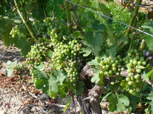 Peller grapes ripening