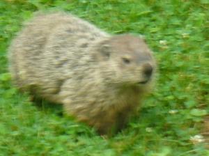Big fat groundhog