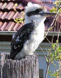 Kookaburra - web