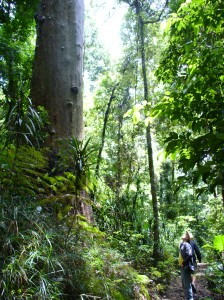 Giant rainforest trees