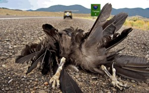Raven roadkill